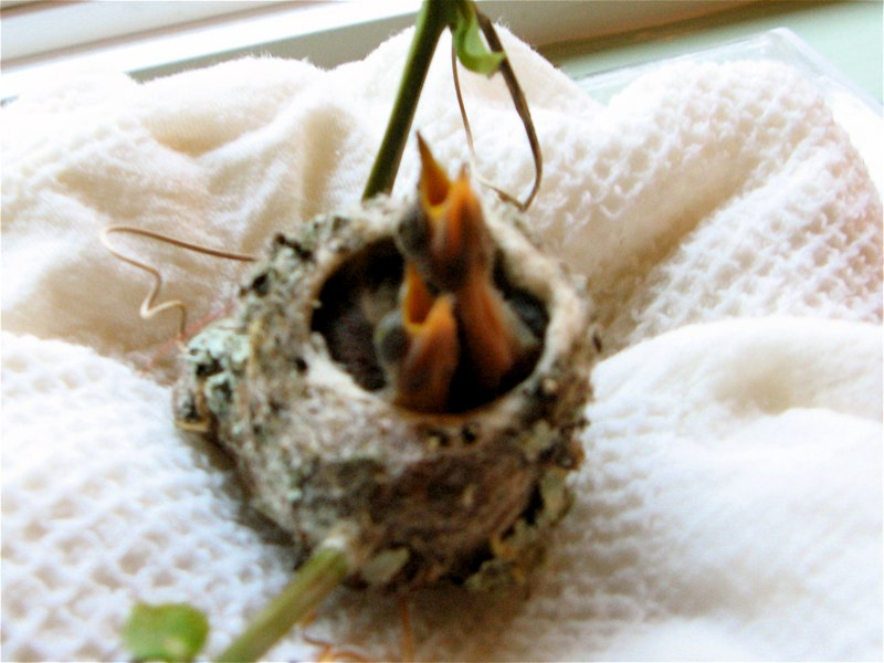 Baby Allen Hummingbirds