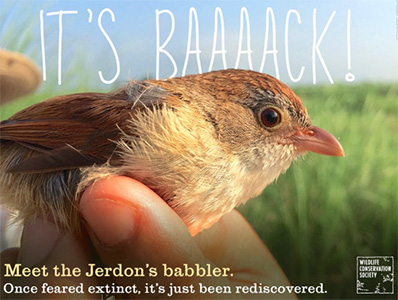 Jerdon's Babbler