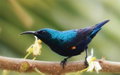 A tweet from the other side of the globe  ~Purple Sunbird~  By Tahir Khan Arzani