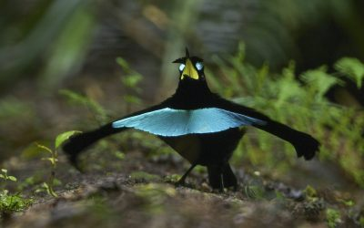 Dance Moves Support Evidence for New Bird-of-Paradise Specie