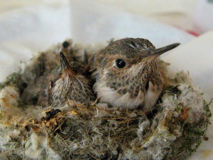 Baby Allen's hummingbirds