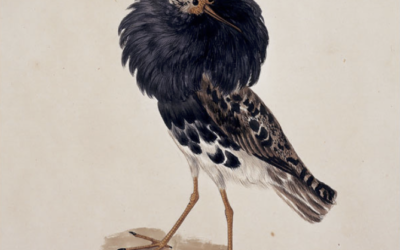 Audubon's Species: Bird Art, in All Its Glory