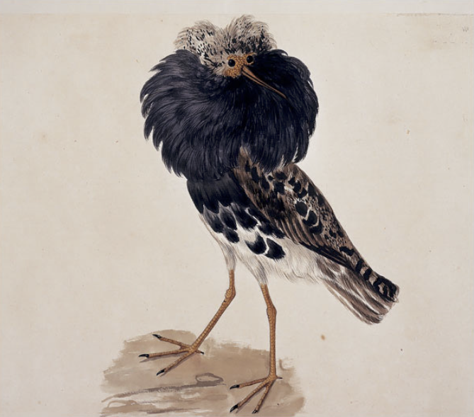 Audubon's Species: Bird Art, in All Its Glory