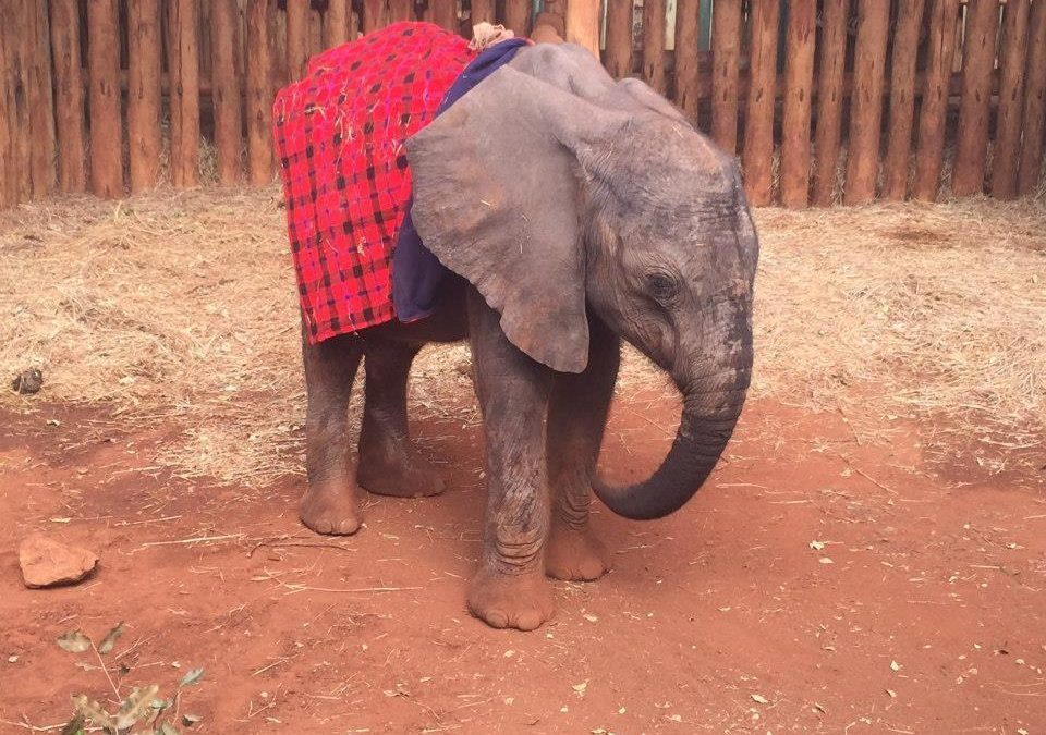 2009 / SHELDRICK'S Orphaned Baby Elephants & Baby Rhinos in Kenya