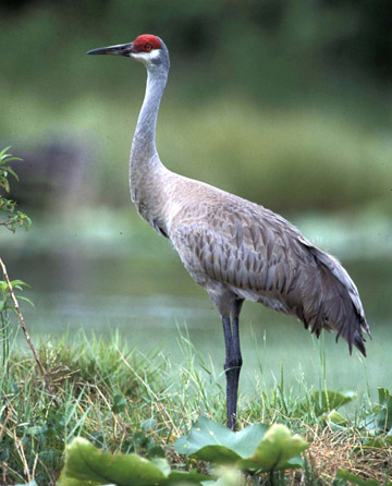 2008 / INTERNATIONAL CRANE FOUNDATION