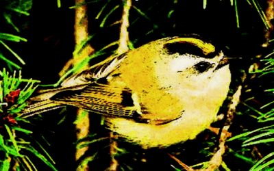 Golden-crowned Kinglets & Bridges of Recall