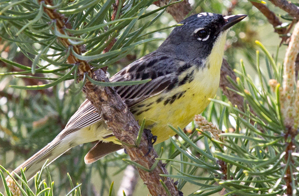 Bird Conservation Groups Win Fight Against Great Lakes Wind Project