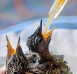 "Marin IJ, ""Fairfax Artist Finds Calling As Foster Mom for Hummingbirds"""