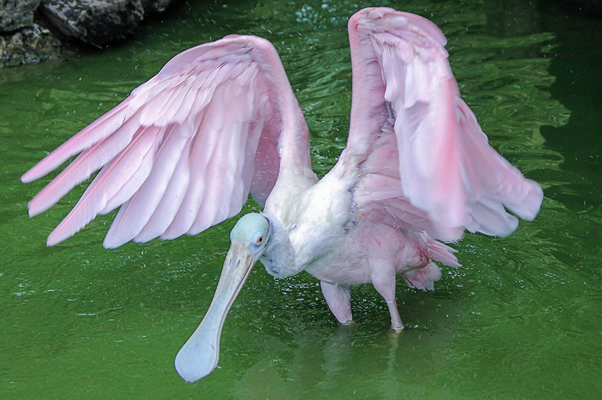 This rare, pink bird isn't supposed to be in N.J. Is the hurricane to blame?