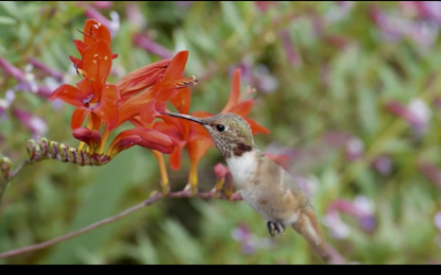 Some Fun Hummingbird Footage
