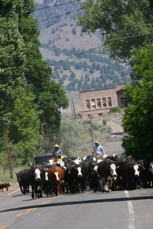 Bidwell Cattle Drive