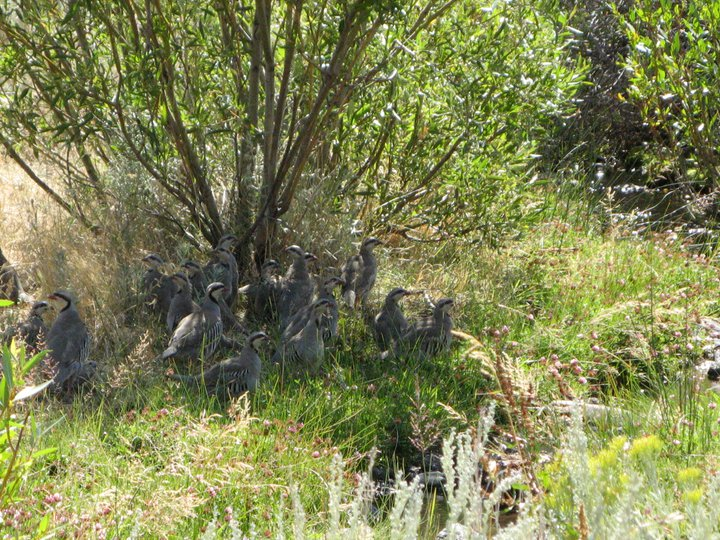 Chukar Partridges