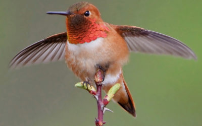 Why the Rufous Hummingbird is the Toughest Bird on the Block