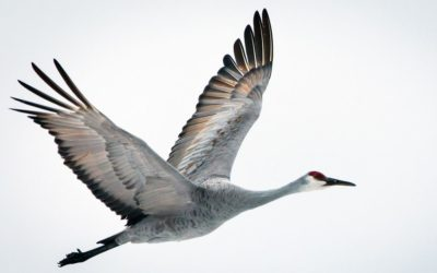 'Migrating with the Sandhill Cranes': Follow the journey